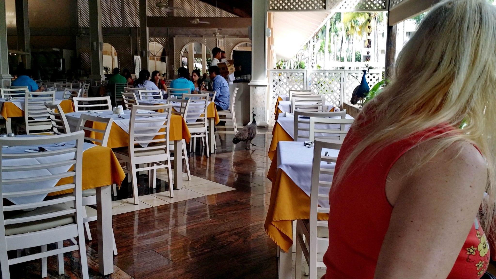 Pfauen stolzieren munter durch den Speisesaal auf der Such nach Leckereien